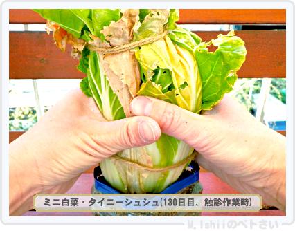 ペトさい(ミニ白菜)57