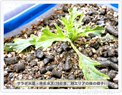 ペトさい(サラダ水菜)41
