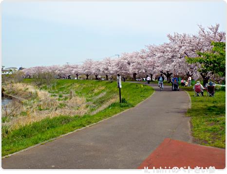 HAMA桜2017_01