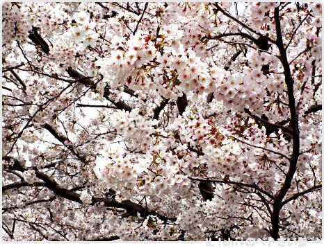 HAMA桜2017_03