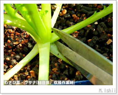 ペット栽培III(わさび菜)24