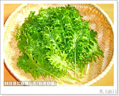 ペット栽培III(わさび菜)25