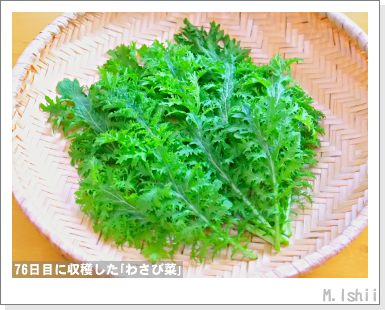 ペット栽培III(わさび菜)47