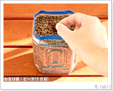 ペット栽培III(わさび菜・改)08