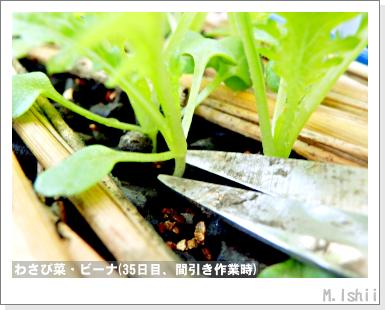 ペット栽培III(わさび菜・改)16