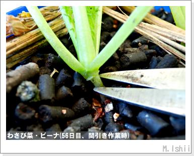 ペット栽培III(わさび菜・改)22