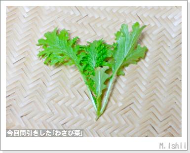 ペット栽培III(わさび菜・改)23