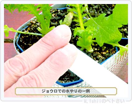 ペトさい(わさび菜・改)44