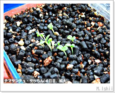 ペット栽培III(チマサンチュ)06