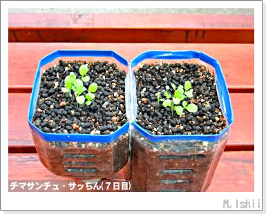 ペット栽培III(チマサンチュ)07
