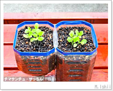 ペット栽培III(チマサンチュ)09