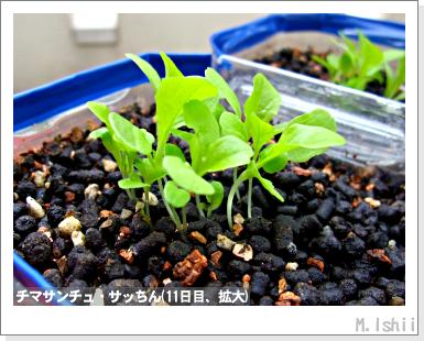 ペット栽培III(チマサンチュ)10