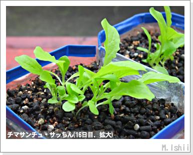ペット栽培III(チマサンチュ)14