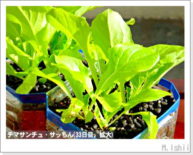ペット栽培III(チマサンチュ)21