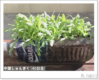 ペット栽培II(中葉しゅんぎく)12
