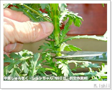 ペット栽培III(中葉しゅんぎく)27
