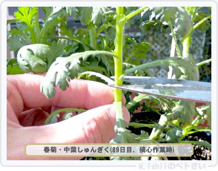 ペトさい(春菊)29