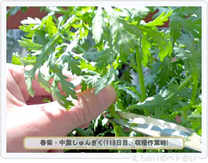 ペトさい(春菊)36