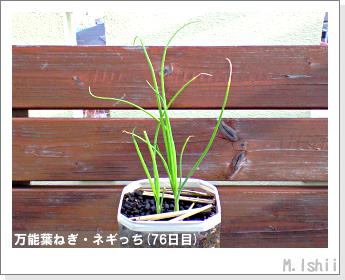 ペット栽培II(万能葉ねぎ)19