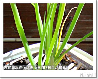ペット栽培II(万能葉ねぎ)26
