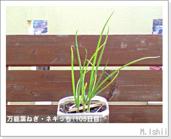 ペット栽培II(万能葉ねぎ)27