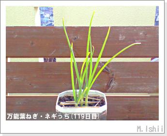 ペット栽培II(万能葉ねぎ)29