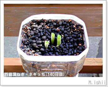 ペット栽培II(万能葉ねぎ)36