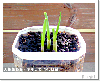 ペット栽培II(万能葉ねぎ)37