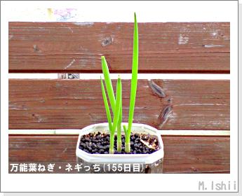 ペット栽培II(万能葉ねぎ)39