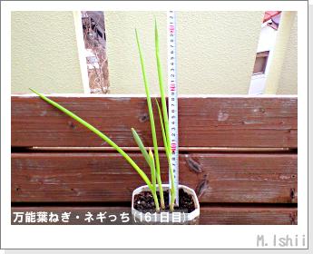 ペット栽培II(万能葉ねぎ)41