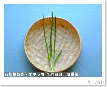 ペット栽培II(万能葉ねぎ)42