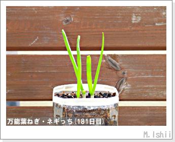 ペット栽培II(万能葉ねぎ)44