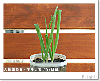 ペット栽培II(万能葉ねぎ)46