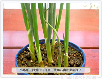 ペトさい(小ネギ)48