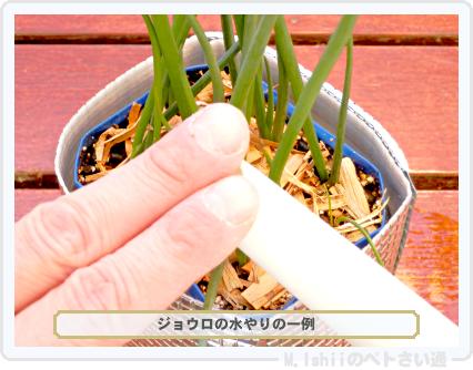 ペトさい(小ネギ)61