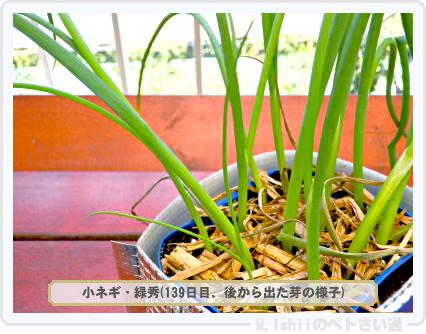 ペトさい(小ネギ)72