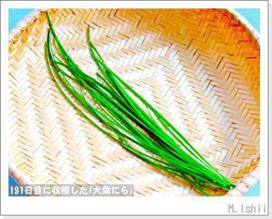 ペット栽培III(大葉にら)39