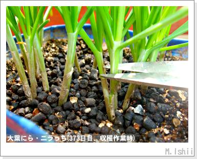 ペット栽培III(大葉にら)57
