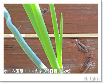 ペット栽培II(ホーム玉葱)28