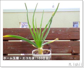 ペット栽培II(ホーム玉葱)58