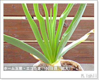 ペット栽培II(ホーム玉葱)59