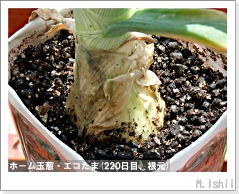 ペット栽培II(ホーム玉葱)74