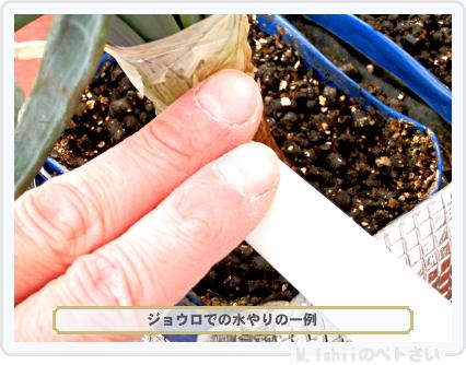 ペトさい(ホーム玉ねぎ)51