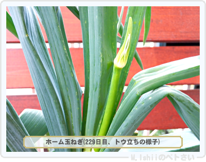 ペトさい(ホーム玉ねぎ)64