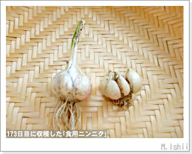 ペット栽培III(ニンニク)46