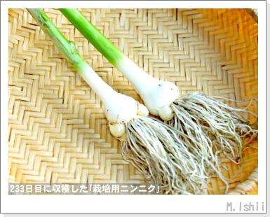 ペット栽培III(ニンニク)61