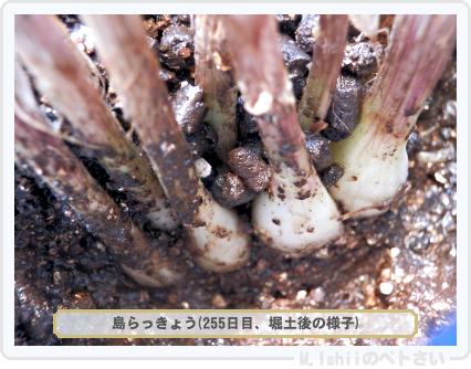 ペトさい(島らっきょう)74