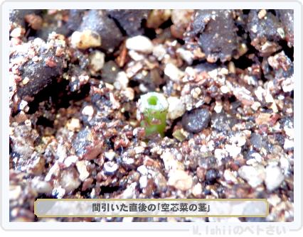 ペトさい(空芯菜)26