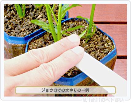 ペトさい(空芯菜)36