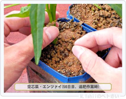 ペトさい(空芯菜)41